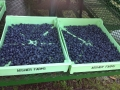 blueberry-lug-2
